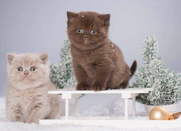 In Deutschland züchtet man schöne schokoladenfarbene Katzen mit sehr weichem Fell