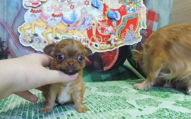Schwangere Chihuahua wegen großem Bauch ins Tierheim gegeben: Kleiner Hund wurde zur Mama-Heldin