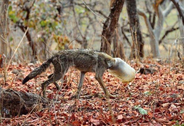 Der Wolf mit der Flasche auf dem Kopf kam zufällig auf das Foto, und das hat ihn gerettet
