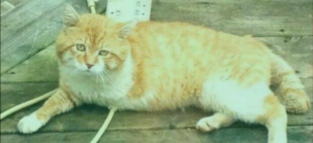Geschichte einer dreibeinigen Katze: Das Tier kehrte nach 8 Jahren zu seinem alten Besitzer zurück