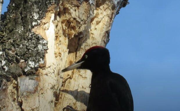 Genau so wie Menschen: Ohne vom Baum herunterzusteigen, ließ ein Eichhörnchen einen Specht auf den Boden fallen, der am Morgen an seine Höhle klopfte