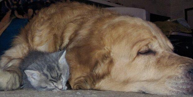 Golden Retriever rettete ein Kätzchen, als er es nach Hause brachte und sich um es kümmerte