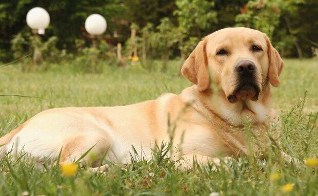 Der Hund Daiko rettete vier Tage lang Menschen und opferte sein Leben für sie