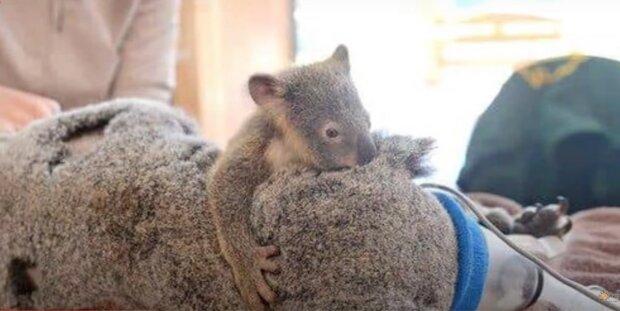 Koala. Quelle: lifter.com