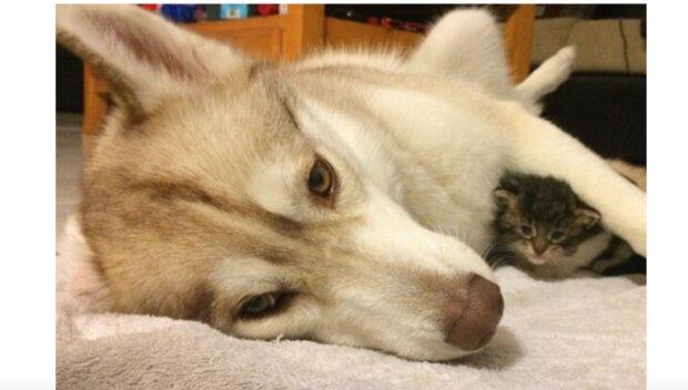 Echte Mutti: wie ist Husky Lilo zur Mutterkatze geworden