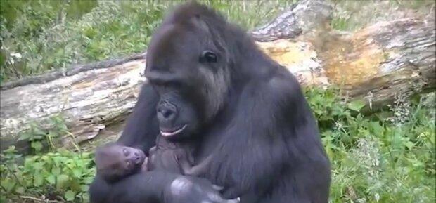 Mutterinstinkt: Ein von seiner Mutter verlassenes Gorillababy wird von einem anderen Weibchen adoptiert