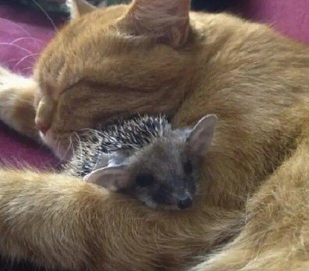 Eine echte Mama: wie eine Katze für Igel Mama wurde