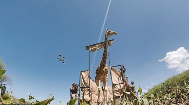 Ein ganzer Lastkahn wurde gebaut, um gefangene Giraffen zu retten