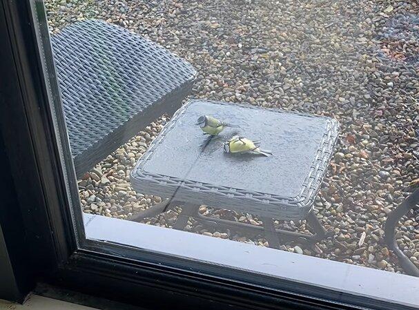 Die Freundschaft der Vögel: Eine Meise hat ihre Freundin wieder zum Leben erweckt, als sie gegen das Glas krachte