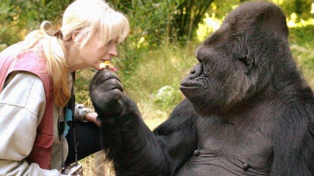 Coco: der klügste Gorilla der Welt