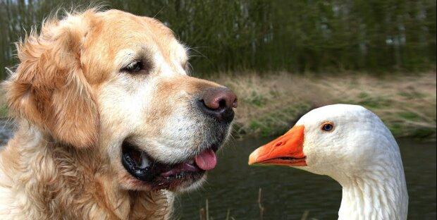 """""""Das ist nicht einmal beim Menschen der Fall"""": Eine Ente und ein Hund leben viele Jahre lang in Frieden und Harmoniec"""