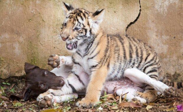 Mama lehnte den kleinen Tiger ab, aber der Welpe ist sein bester Freund geworden