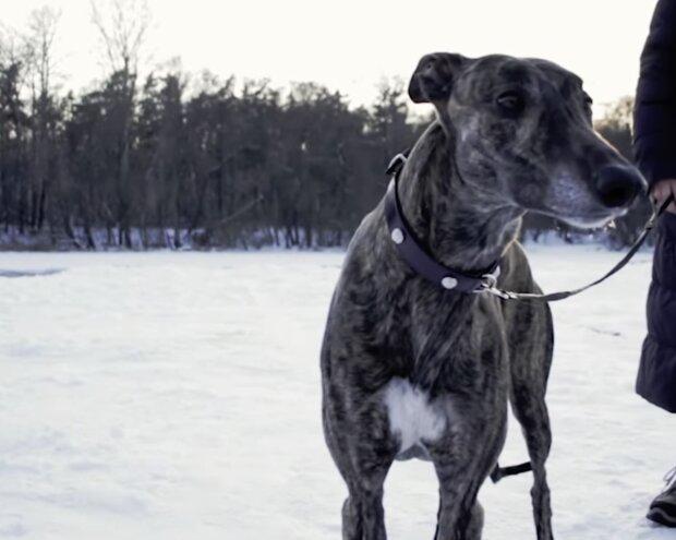 Ein Greyhound wurde auf der Straße gefunden und irrte monatelang ohne Futter und Wasser umher