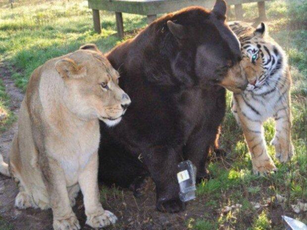 Untrennbar: Der Tiger, der Löwe und der Bär sind seit über 15 Jahren Freunde
