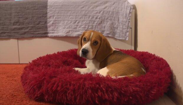 Ein kleiner Beagle-Welpe hat das Leben einer Frau komplett verändert: Jetzt ist sie eine Schönheit