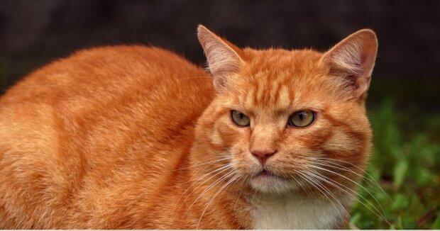 Leben in zwei Familien: Katze kann sich nicht für ihre Besitzer entscheiden und läuft zwischen zwei Häusern hin und her