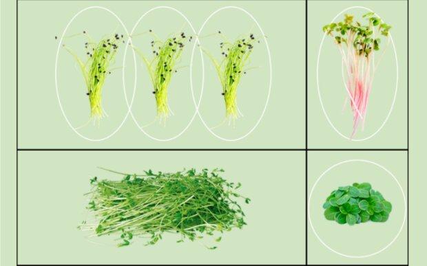Mikrogrünmode: Es ist bekannt geworden, wie man zu Hause Grün pflanzt