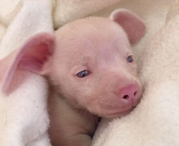 Der rosa Welpe wurde mit schlechtem Gehör und schlechten Sehkraft geboren, wuchs aber zu einem guten Helfer heran