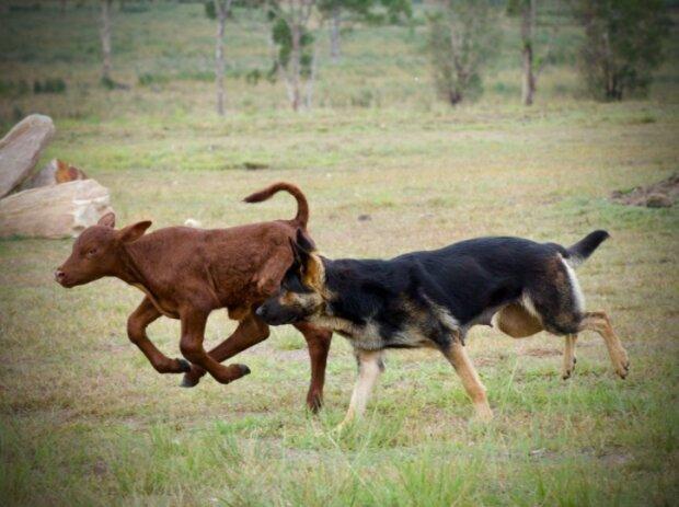 Die Bauern retteten das verwaiste Kalb und gaben es ihrem Schäferhund: jetzt denkt er, er sei ein Hund
