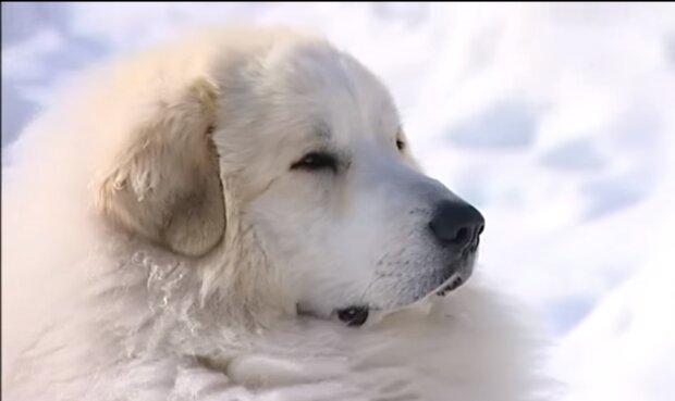 Ein Junge mit Charakter: Wie der Pyrenäenberghund Captain Besitzer findet