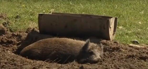 Die Besitzerin änderte ihre Meinung über den Verkauf ihres Schweins, nachdem es ihr das Leben gerettet hatte