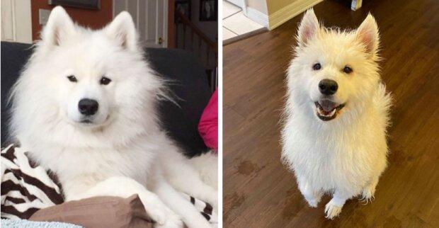 Die Besitzerin ging zum Hundefriseur, um dem Hund das Fell abzuschneiden, und als sie ihn abholte, konnte sie ihn nicht mehr erkennen